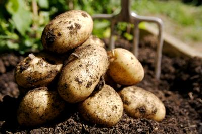 International Year of the Potato, 2008