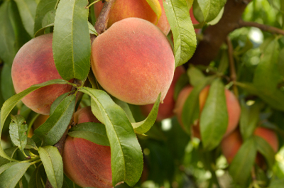 Grow Muscles with Peaches? ~ Hypnosis Health Info